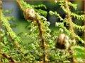 Polystichum setiferum 'Plumosum-densum'