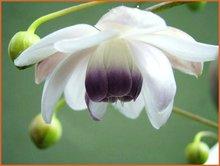 Anemonopsis