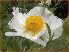 Californische-boompapaver