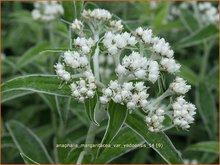 Siberische-edelweiss