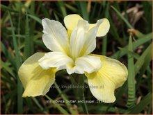 Siberische-iris