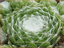 Spinnenwebhuislook