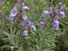 Lavendelsalie