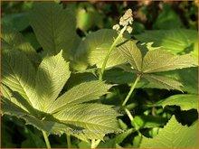 Kastanjebladige-astilbe