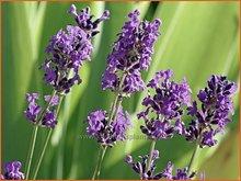 Gewone-lavendel