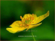 Gele-anemoon
