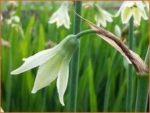Kaapse-hyacint