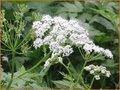 Chaerophyllum