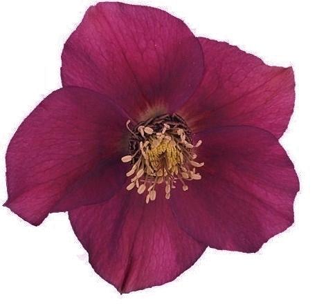 Allium - Sierui
