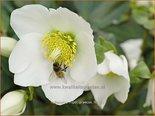 Helleborus niger 'Praecox' | Kerstroos, Nieskruid