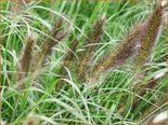 Pennisetum alopecuroides 'Viridescens'   Lampenpoetsersgras