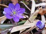 Hepatica nobilis   Leverbloempje