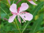 Epilobium angustifolium 'Stahl Rose' | Wilgenroosje