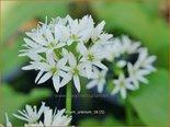 Allium ursinum   Daslook, Berenlook, Look   Bärenlauch
