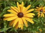 Rudbeckia fulgida var. deamii | Zonnehoed | Deams Sonnenhut