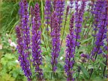 Salvia nemorosa 'Caradonna' | Bossalie, Salie, Salvia | Steppensalbei