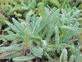 Achillea tomentosa 'Aurea' | Duizendblad | Filzige Teppichgarbe