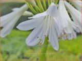 Agapanthus 'Silver Lining'   Afrikaanse lelie, Kaapse lelie, Liefdesbloem   Schmucklilie