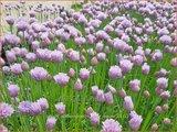 Allium schoenoprasum 'Curly Mauve' | Bieslook, Look | Schnittlauch
