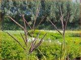Andropogon hallii 'Purple Konza' | Baardgras | Blauhalm