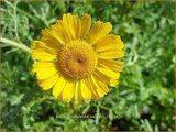 Anthemis hybrida 'Kelwayi' | Gele kamille, Verfkamille, Kamille | Färberkamille