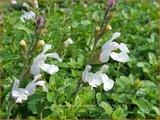 Salvia microphylla 'Gletsjer' | Salie, Salvia | Johannisbeersalbei