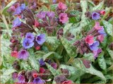 Pulmonaria 'High Contrast' | Longkruid | Lungenkraut