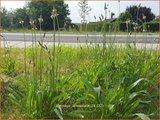 Plantago lanceolata | Smalle weegbree, Weegbree | Spitzwegereich