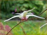Epimedium 'Domino' | Elfenbloem | Elfenblume