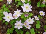 Anemonella thalictroides 'Rosea' | Ruitanemoon | Rautenanemone