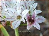 Allium 'Cameleon'   Sierui, Look   Lauch