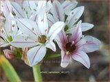 Allium 'Cameleon'_11