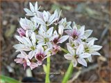 Allium 'Cameleon' | Sierui, Look | Lauch