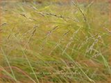 Eragrostis curvula 'Totnes Burgundy' | Liefdesgras | Schwachgekrümmtes Liebesgras