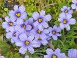 Sisyrinchium 'Californian Skies' | Bieslelie | Binsenlilie