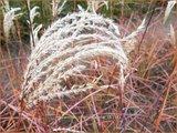 Miscanthus sinensis 'China' | Prachtriet, Chinees riet, Japans sierriet, Sierriet | Chinaschilf