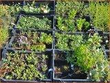 Mix van 48 planten voor € 1,00 per stuk_12