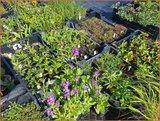 Mix van 12 planten voor € 1,55 per stuk_12