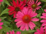 Echinacea purpurea 'Kismet Raspberry' | Rode zonnehoed, Zonnehoed | Roter Sonnenhut