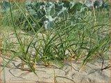 Carex arenaria   Zandzegge, Zegge   Strandsegge