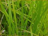 Carex bromoides | Zegge | Segge