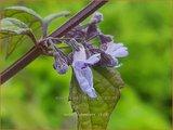 Isodon rubescens   Chinesische Buschnessel