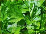 Petroselinum crispum 'Gigante d'Italia'   Peterselie   Krause Petersilie