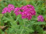 Achillea millefolium 'New Vintage Violet'   Duizendblad   Gewöhnliche Schafgarbe