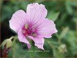 Althaea cannabina | Hennepheemst, Heemst