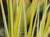 Acorus gramineus 'Oborozuki' | Kalmoes