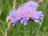 Knautia arvensis | Beemdkroon