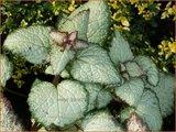 Lamium maculatum 'Purple Dragon' | Dovenetel