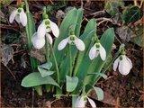 Galanthus elwesii | Groot sneeuwklokje, Breedbladig sneeuwklokje, Sneeuwklokje