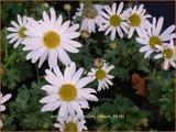 Arctanthemum arcticum 'Roseum' | Groenlandmargriet